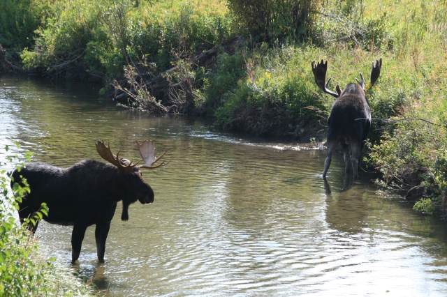 Beide elanden in het water