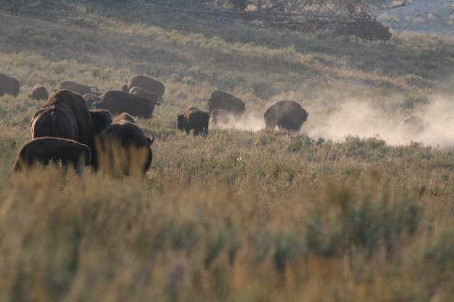 Ruziënde bizons