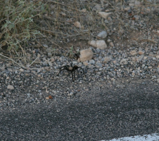 tarantula, bah!